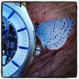 Blue spotted butterfly on mechanical watch.