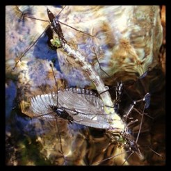 Damsel fly and water bugs on Norton Creek pool