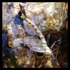 Damsel fly and water bugs on Norton Creek pool
