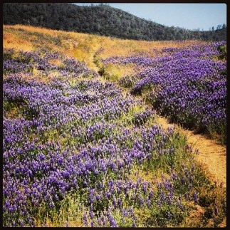 spring bloom of lupine at Folsom Lake