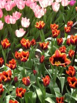 Dull orange tulip with dark purple centre. Eye-catching, but I didn't like it.