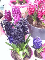Hyacinths. They were called Pink Pearl, Purple Pearl, White Pearl, but they missed a chance to call this one Black Pearl after the ship in Pirates of the Caribbean