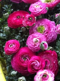 Dark pink ranunculus