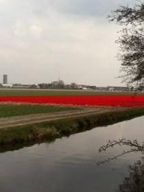 Tulip field behind the Keukenhof