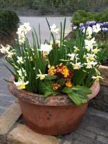 Pot with white narcissus and yellow/red primula at the Keukenhof