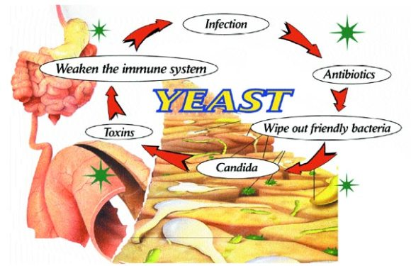 Yeast Cycle
