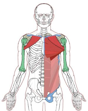 Pectoralis Major – Functional AnatomyIntegrative Works | Integrative ...