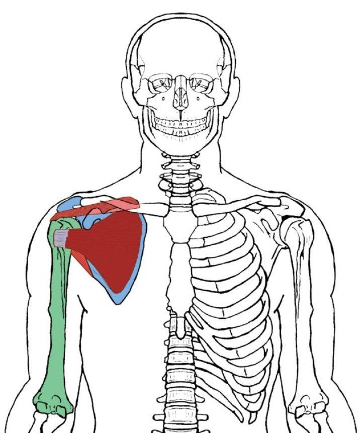 Atemberaubend Die Anatomie Eines Truthahns Galerie - Anatomie Von ...