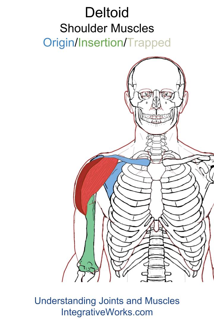 Deltoid Functional Anatomyintegrative Works Integrative Works