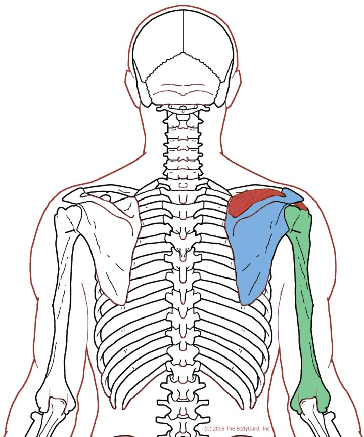 Dorable Functional Anatomy Of Shoulder Mold - Anatomy And Physiology ...