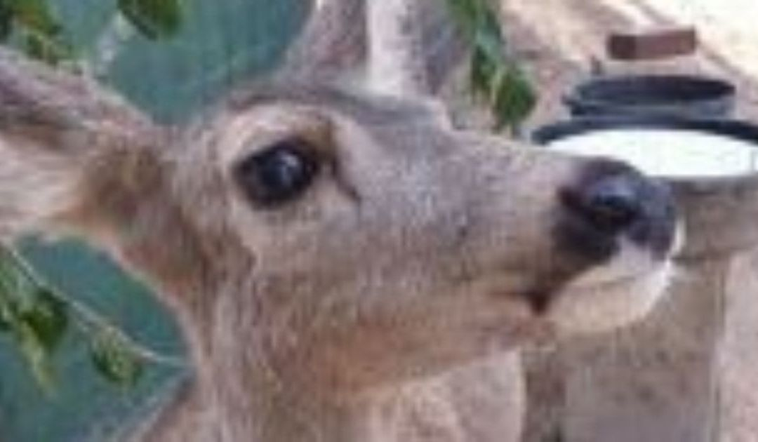 Arizona Game and Fish confiscates 'kidnapped' fawn near Wickenburg