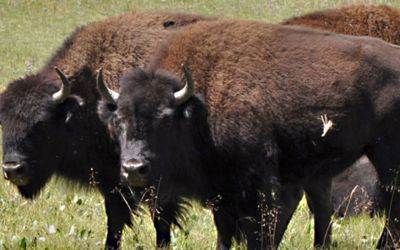 Arizona park officials suggest hunting Bison to combat overpopulation