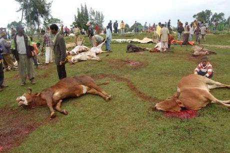 Slaughter cows