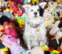 Chaser rodeada de algunos de sus juguetes.