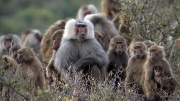 127021916008312954503701197_baboons_fight_for_females