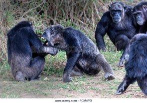 alpha-male-chimpanzee-in-an-agressive-mood-fcm4pd