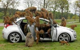babuinos-turistas-5
