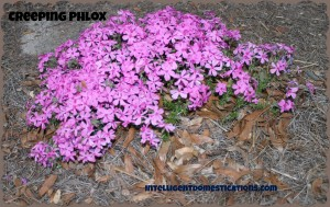 Creeping Phylox.intelligentdomestications.com