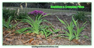 Daylillies and Creeping Phlox.intelligentdomestications.com