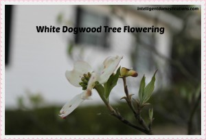 White Dogwood bloom. intelligentdomestications.com