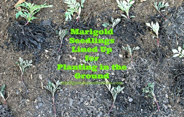Lay out the seedlings on the ground the way you want them to grow.intelligentdomestications.com