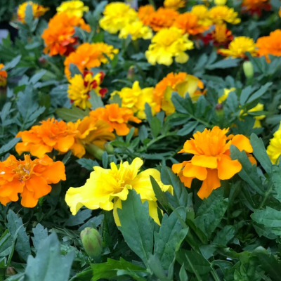 How To Grow Marigolds From Seed To Bloom