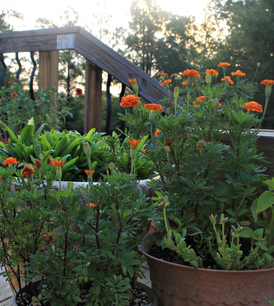 Deck flowers.www.intelligentdomestications.com