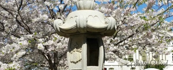 Cherry Blossom Festival Macon, Ga. Photo of Cherry Blossom trees in full bloom. #pinkestparty