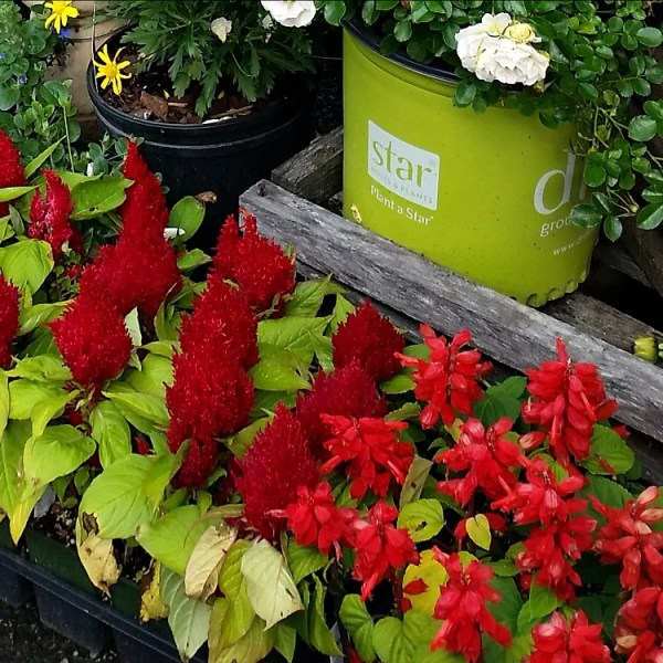 Best Annual Flowers for full sun. Best selection of annual flowers to plant in a sunny yard. Red Celosia. Red Salvia