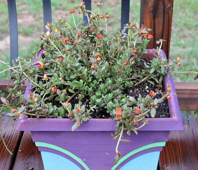 Best Annual Flowers for full sun. Best selection of annual flowers to plant in a sunny yard. Orange Portulaca. #deckflowers