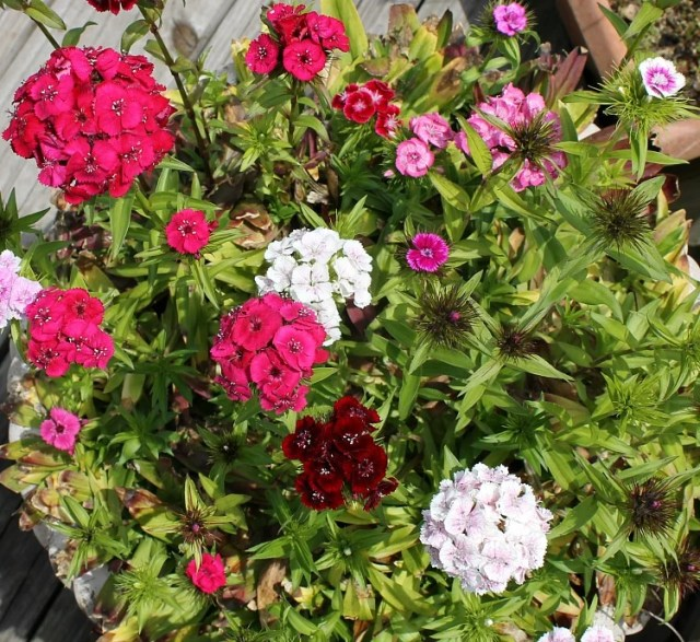 Best Flowers for full sun. Best selection of flowers to plant in a sunny yard. Flowers you should plant on your sunny deck or porch.Sweet William flowers in a container #Curbappeal