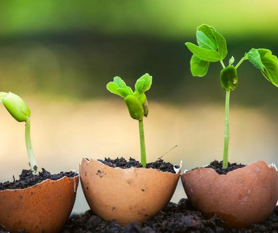 Seedlings growing in brown egg shells sitting in rich black dirt