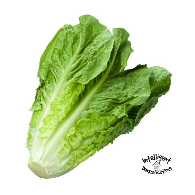 Fresh Romaine lettuce