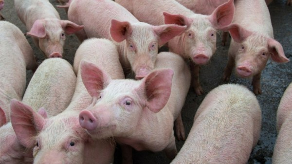 New Virus Found in the Feces of Pigs