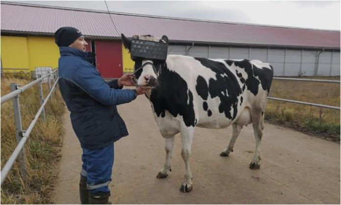 Las vacas en la granja rusa se equipan con gafas de realidad virtual para aumentar la producción de leche