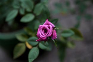 Lavender Lace Mini Rose by Andor