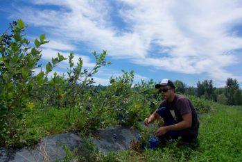 U-Picking blueberries