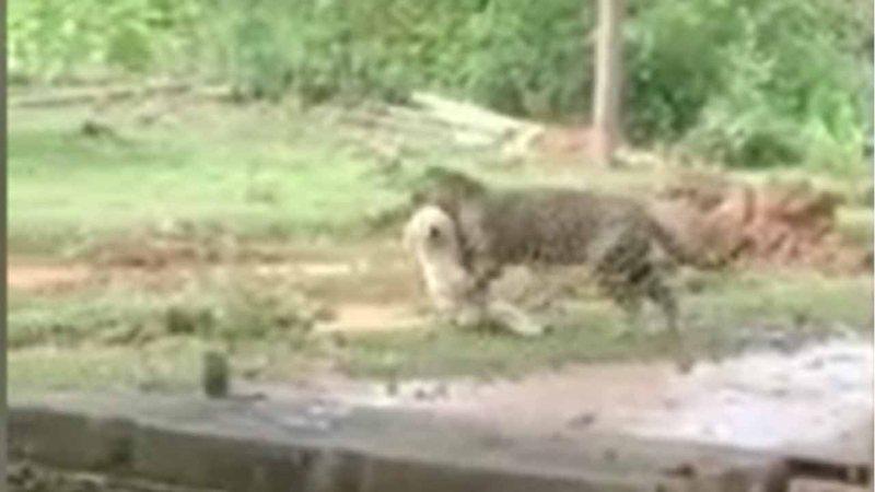 É em MS? Vídeo mostra onça-pintada carregando cachorro morto na boca e viraliza