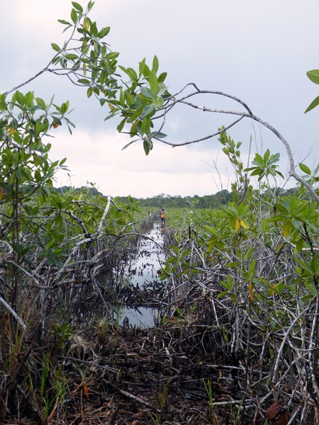 Illegal seismic line number 08 in Conejo's territory, looking towards the boundary in the mangrove swamp. Robin Oisín Llewellyn