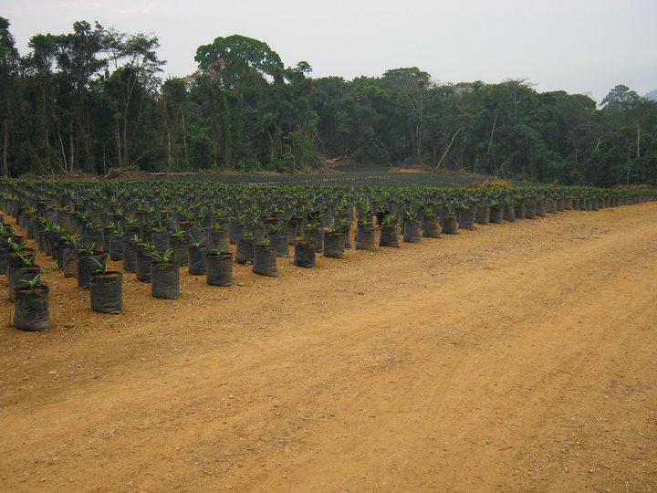 Herakles Farms' oil palm nurseries, 2011 (Photo SAVE)