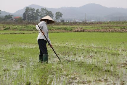 Paddy fields.jpg