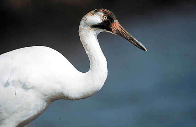 whooping crane2