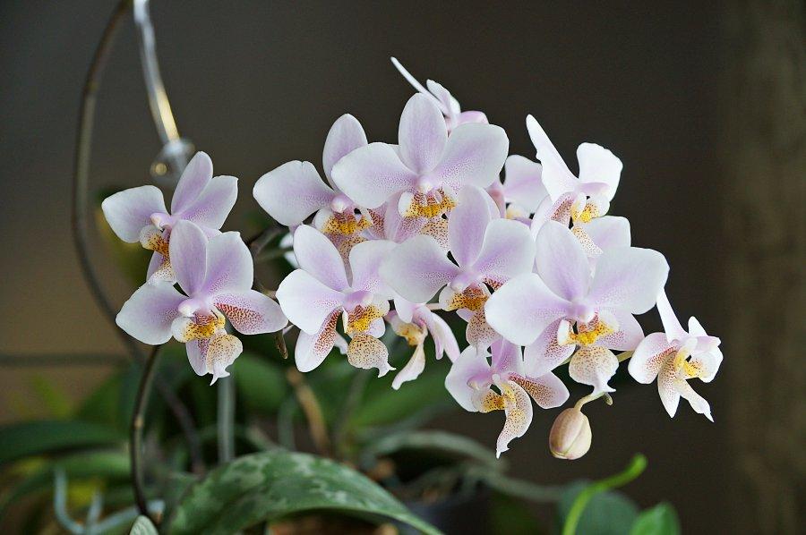 орхидея с мелкими цветами название сейчас работаю