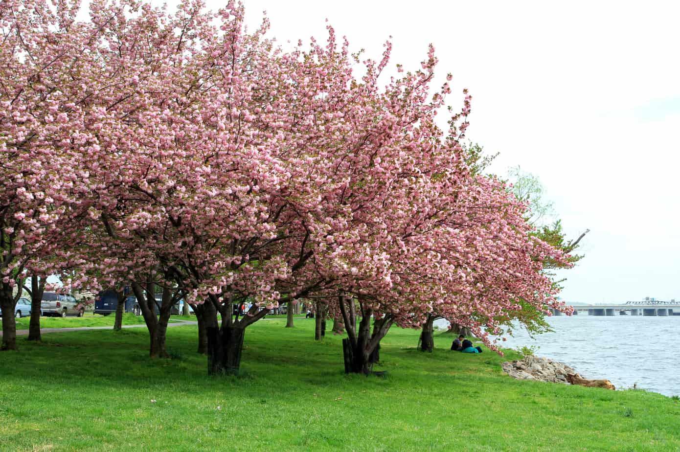 A Short Analysis of A  E  Housman's 'Loveliest of Trees, the Cherry