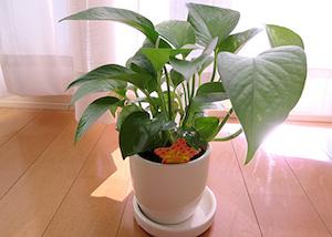 100均の観葉植物1