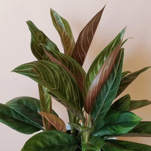 aglaonema chocolate indoor plants houseplants interiorplants plant sale Mississauga Toronto Brampton Burlington Oakville GTA