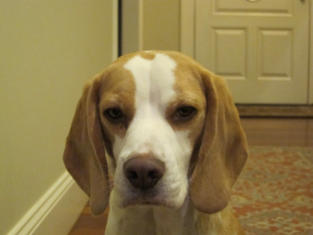 Harrison the Beagle