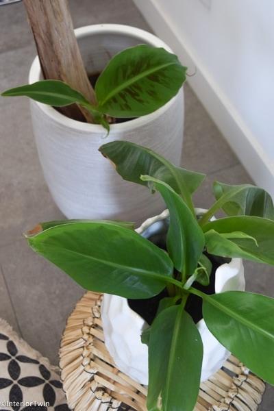 voorbeeld bananenplant stekken