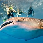 Swim with Whale Sharks!