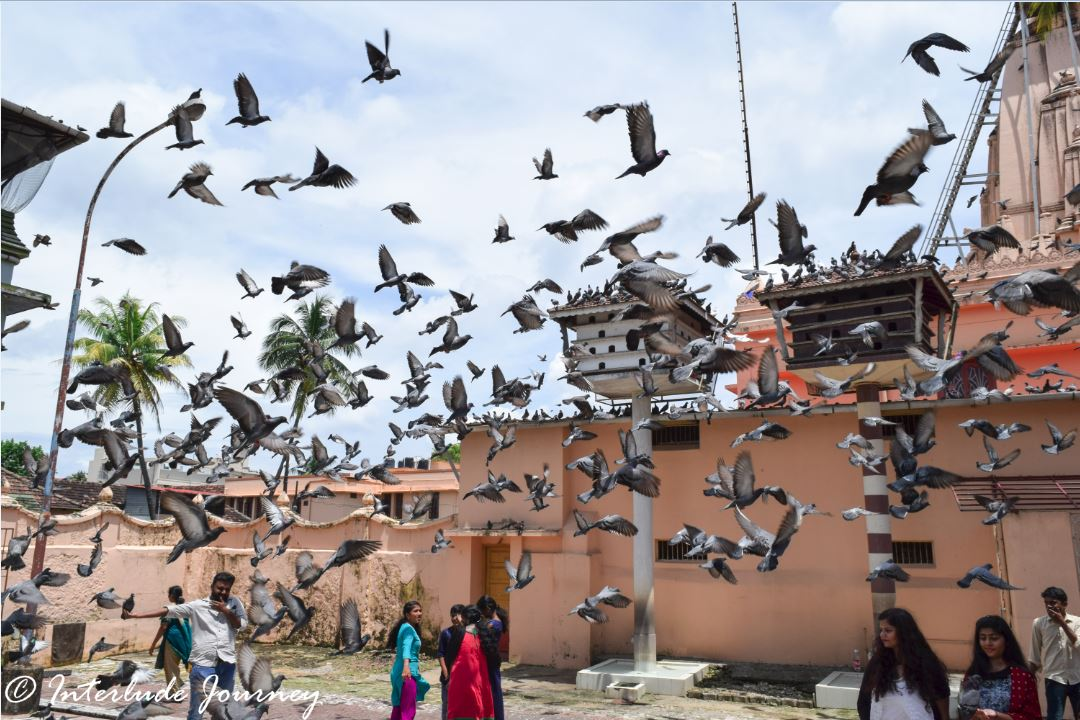 Pigeon feeding at Jain temple in fort kochi
